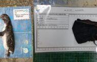 Pinguim é encontrado morto após o feriado 7 de setembro e necropsia do Instituto Argonauta revela máscara embrulhada no estômago do animal